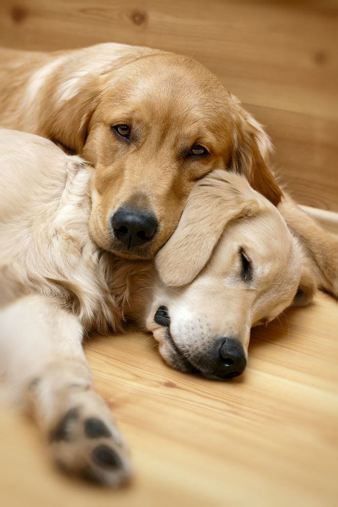 two golden retrievers taking a nap