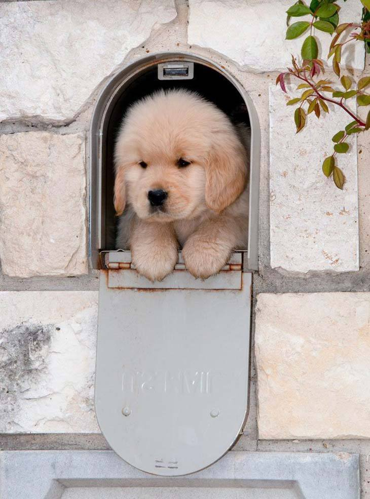 cute golden retriever puppy posing in a mail box