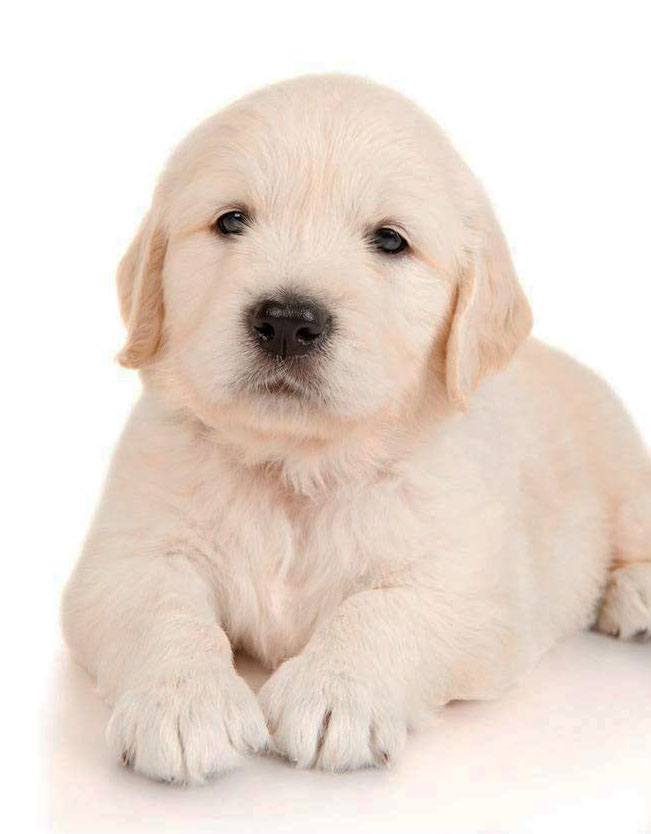 golden retriever puppy looking for it's mommy