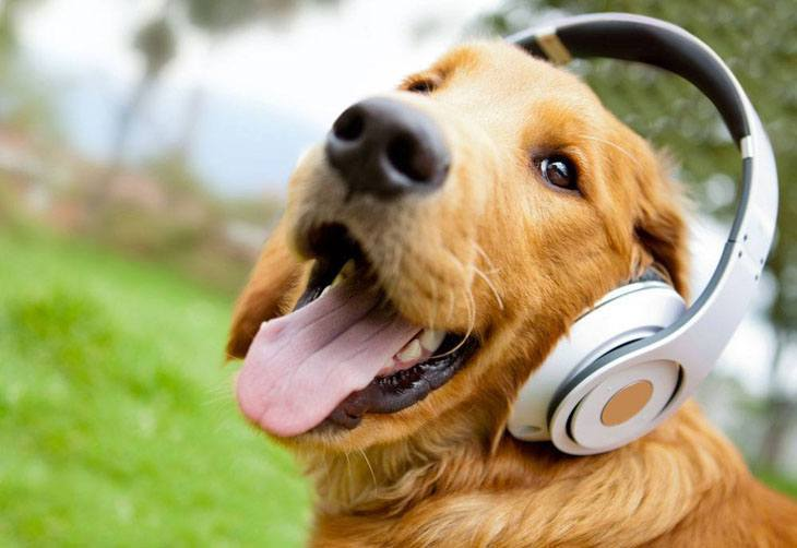 golden retriever gooving to the music