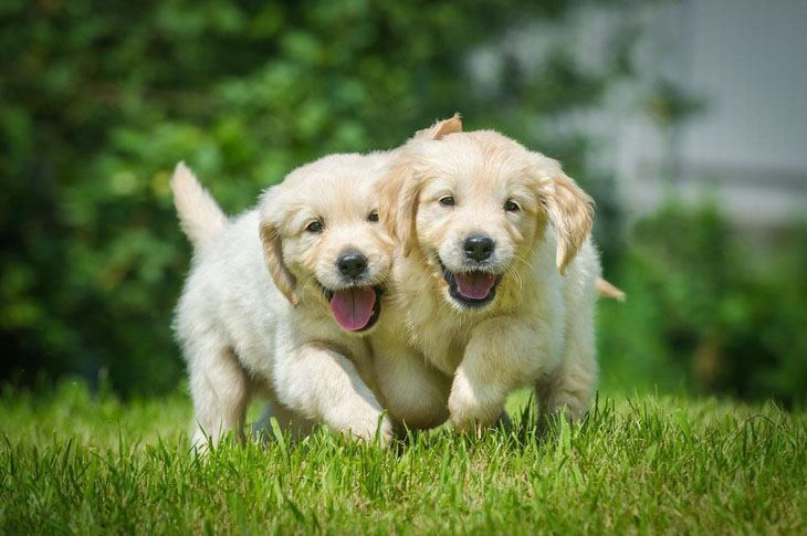 two friendly golden retriever puppies