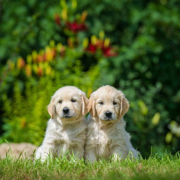two golden retriever puppies hoping to find a playmate