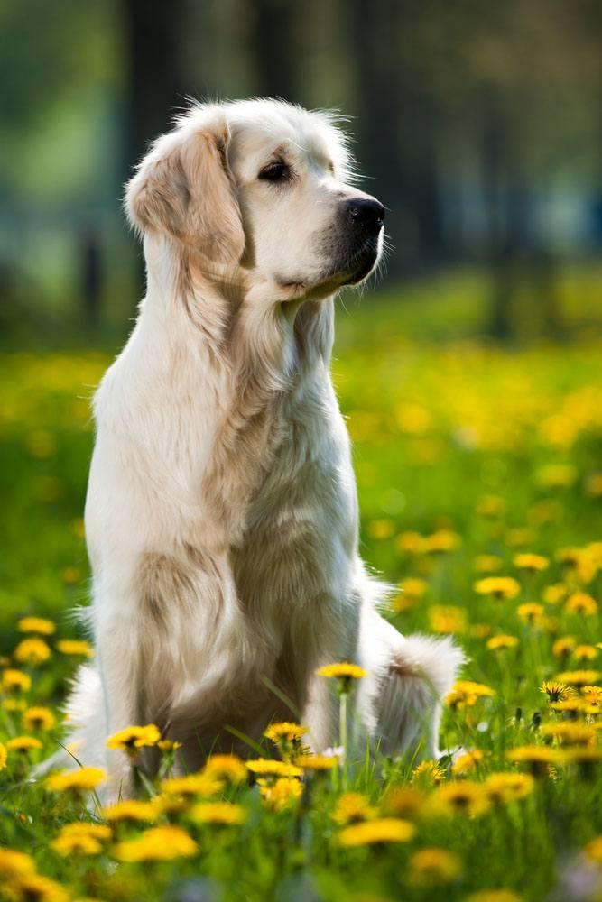 golden retriever in a meadow full of flowers