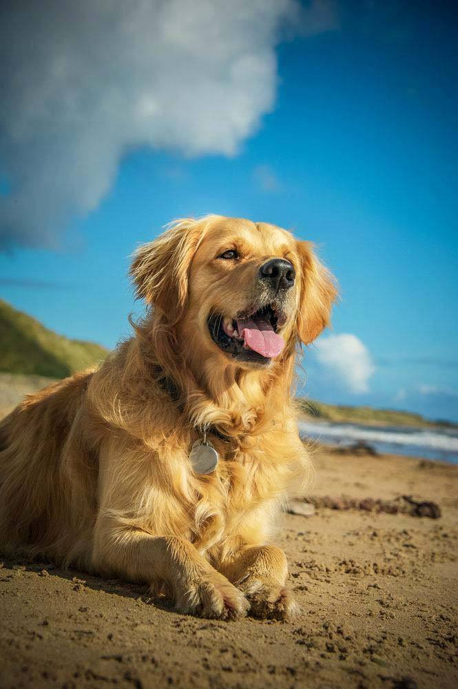 golden retriever waiting to go for a swim