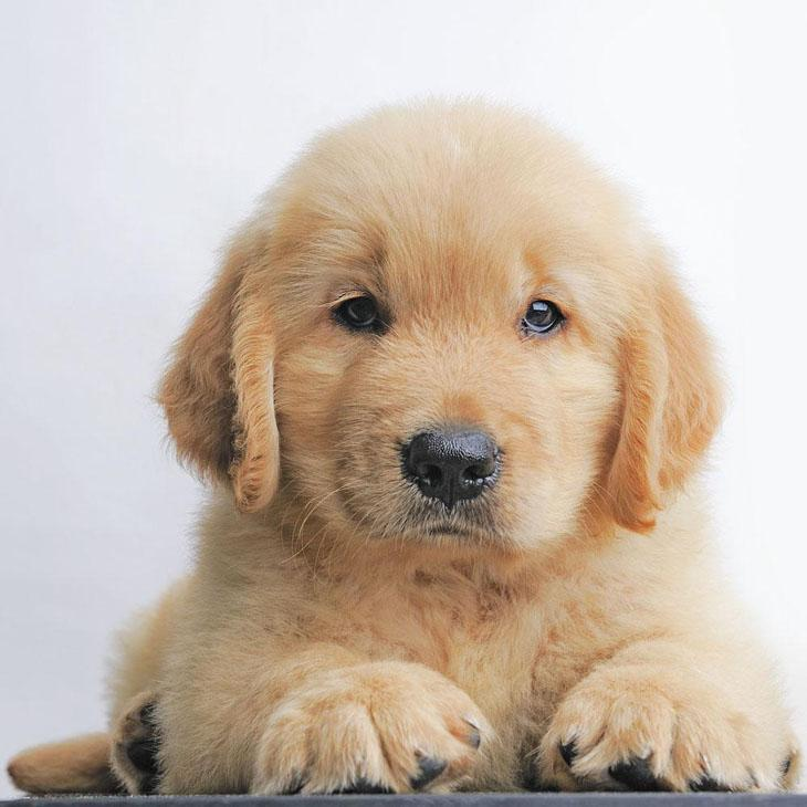 golden retriever puppy staring