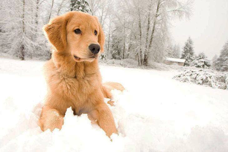 golden retriever out playing in the snow