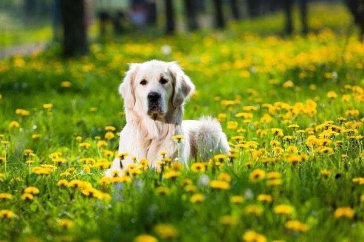 golden retriever posing out in a field of flowers