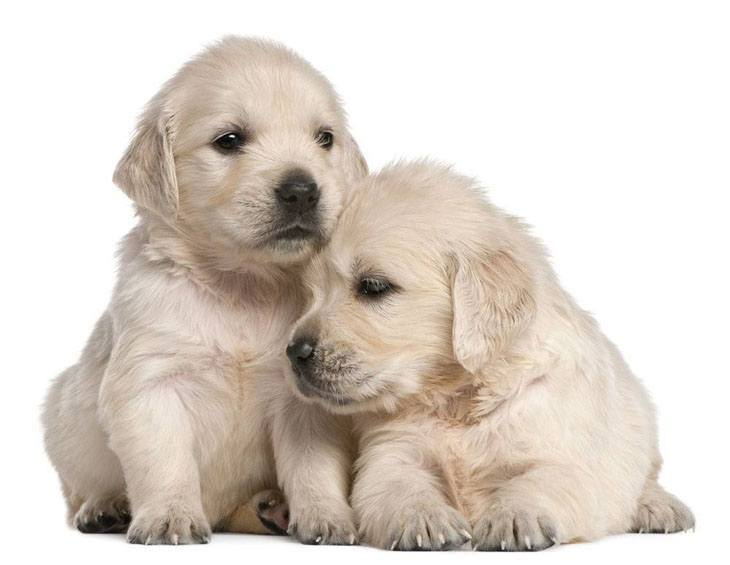 two golden retriever puppies that miss their mommy