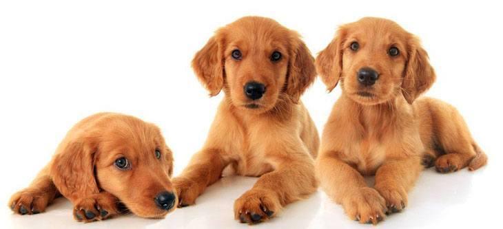 three bored golden retriever puppies