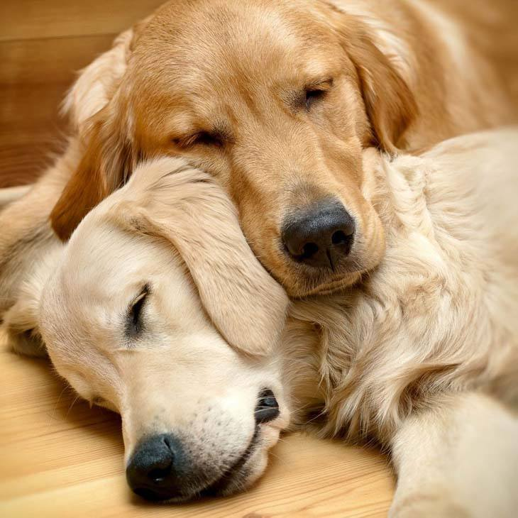 two golden retrievers tuckered out