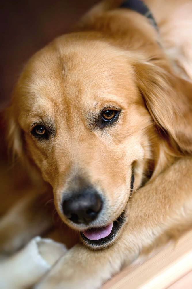 closeup of a beautiful golden retriever