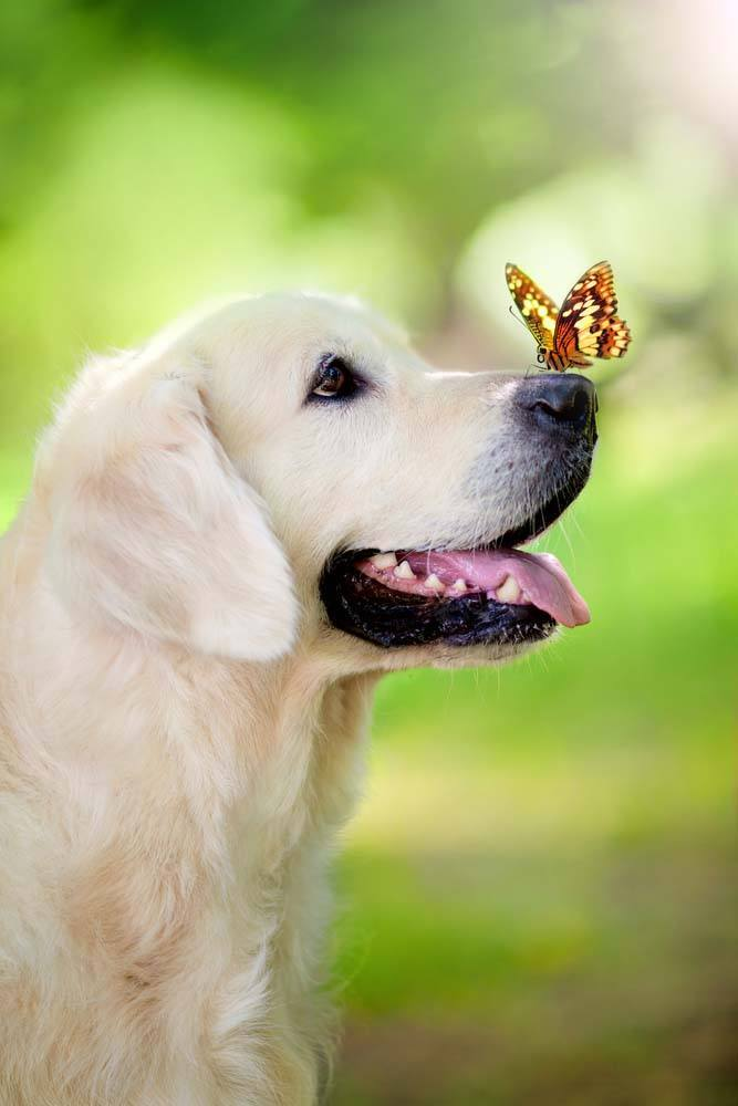 golden retriever with butterfly on it's nose