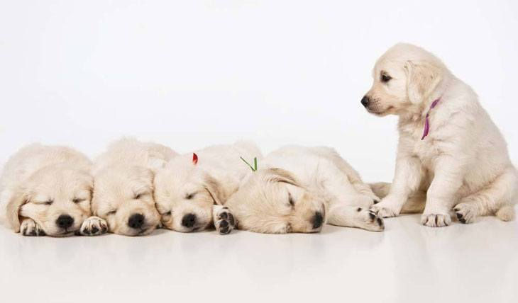 cute lab puppies sleeping