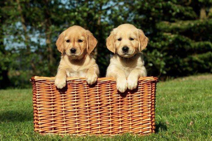 a basketfull of fun loving golden retriever puppies