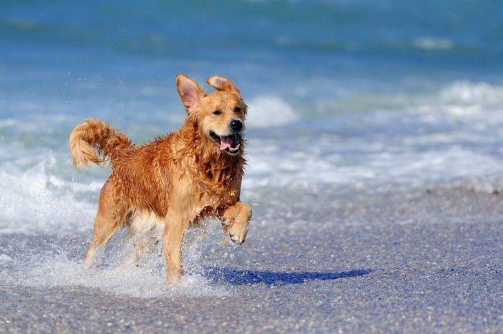golden retriever running on the beach