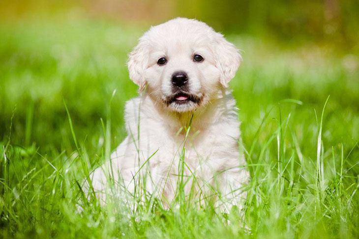 golden retriever puppy looking for adventure