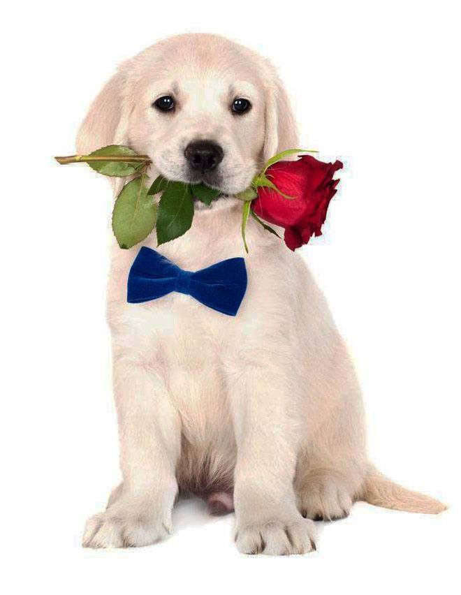 golden retriever puppy holding a flower