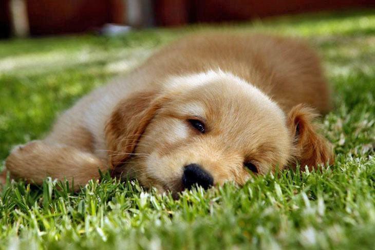 golden retriever puppy taking a nap
