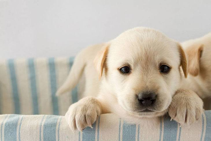 golden retriever puppy ready to play