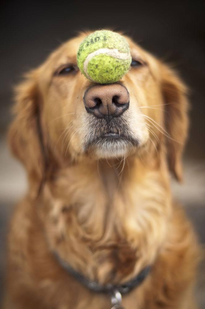 golden retriever balancing a ball on it's nose