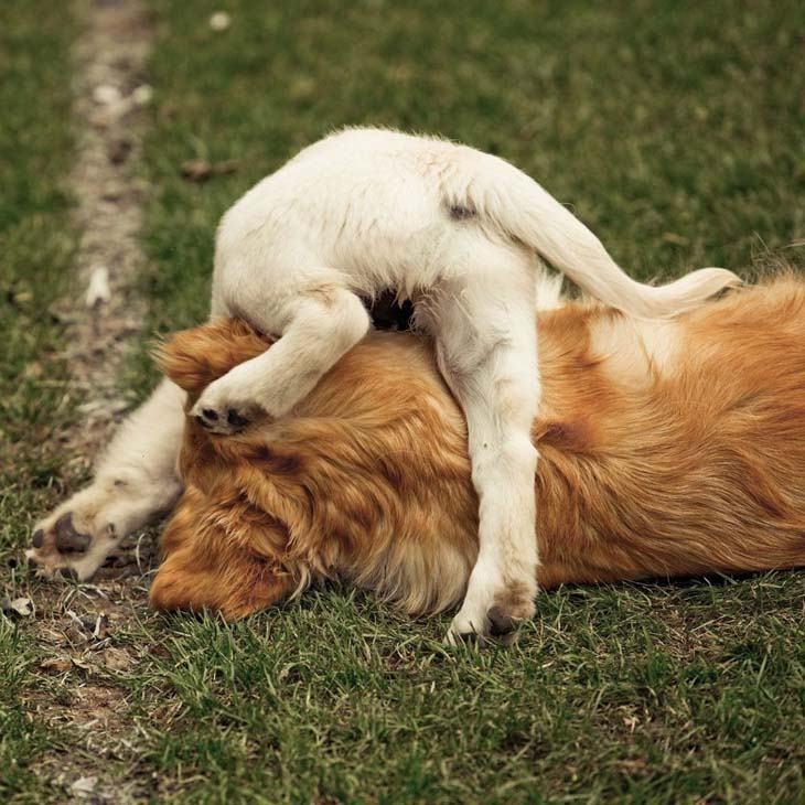 labrador retriever puppy climbing over another