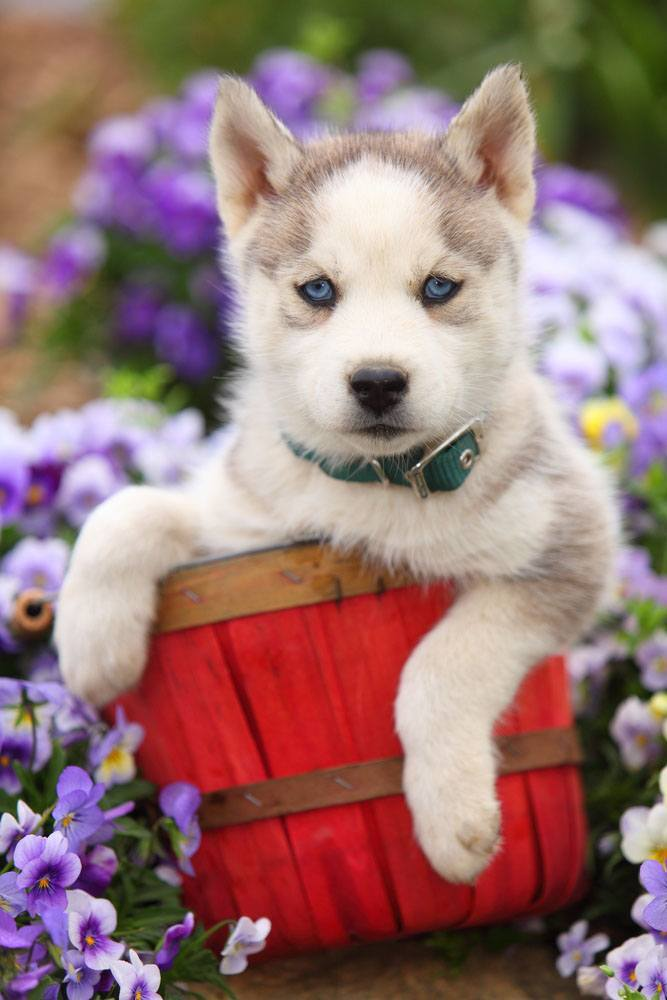 beautiful husky puppy