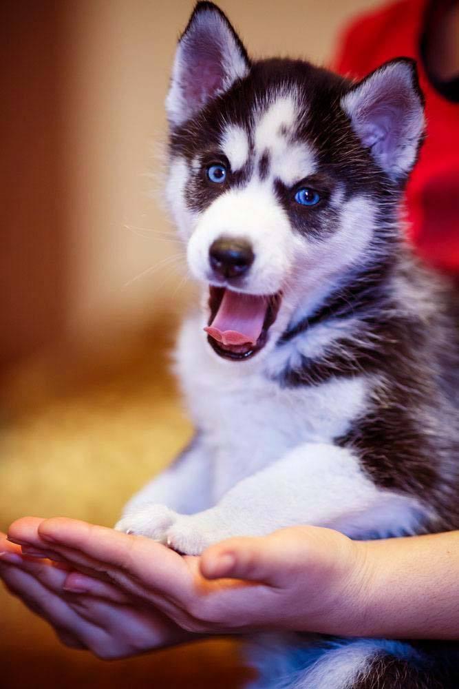 husky puppy mugging for the camera