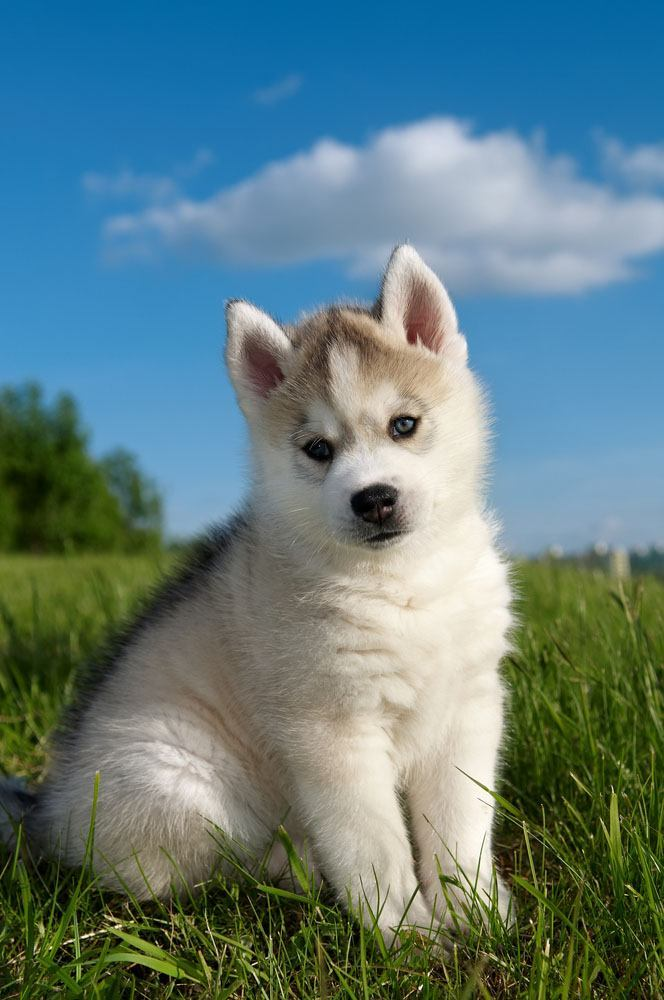 husky puppy in a meadow