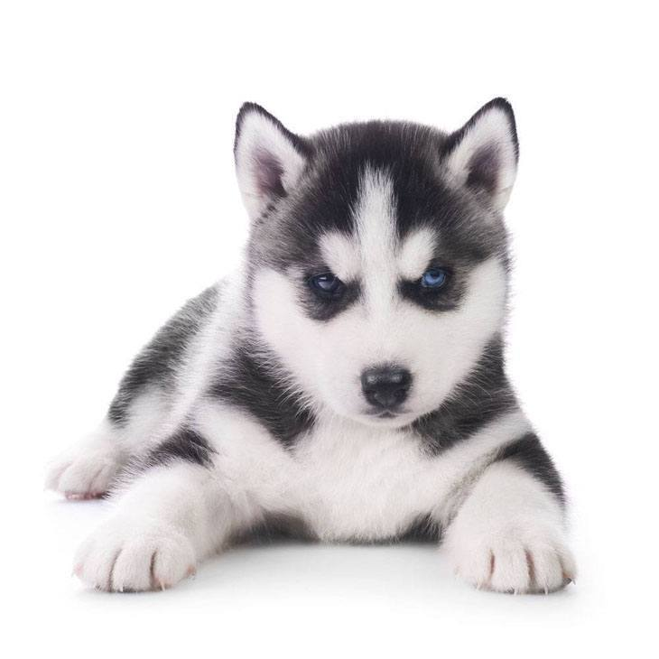 husky puppy picture