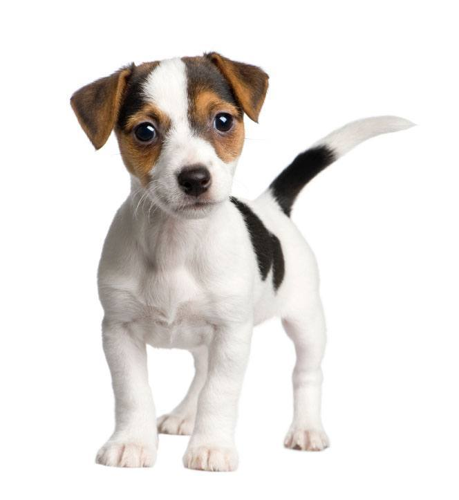 jack russel terrier puppy pic