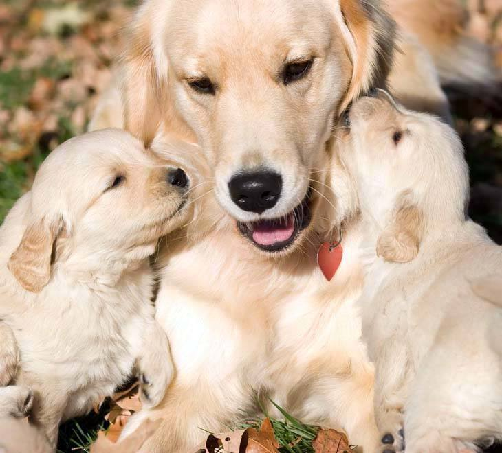 golden retriever puppies kissing their momma