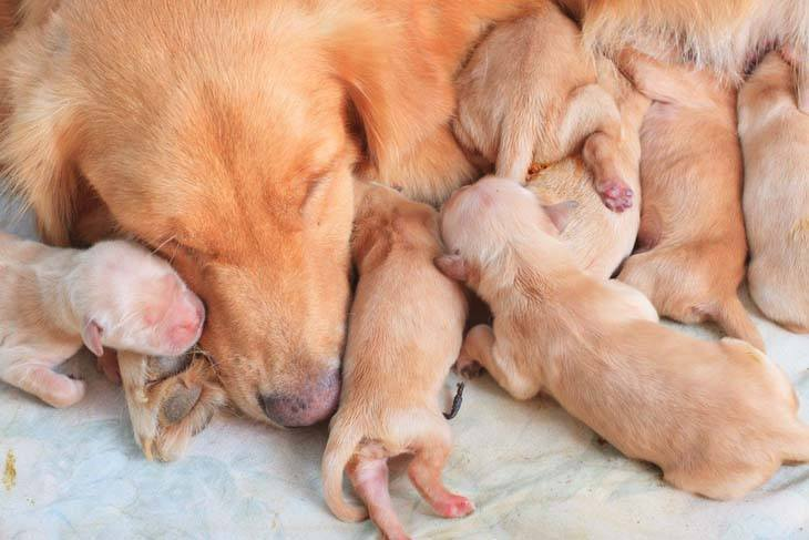 golden retrievers napping after feeding