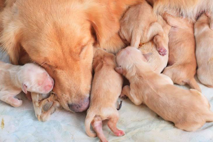 golden retriever mother with her puppies