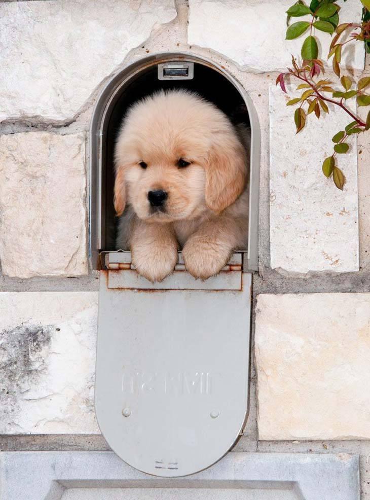 golden retriever puppy in a mail box