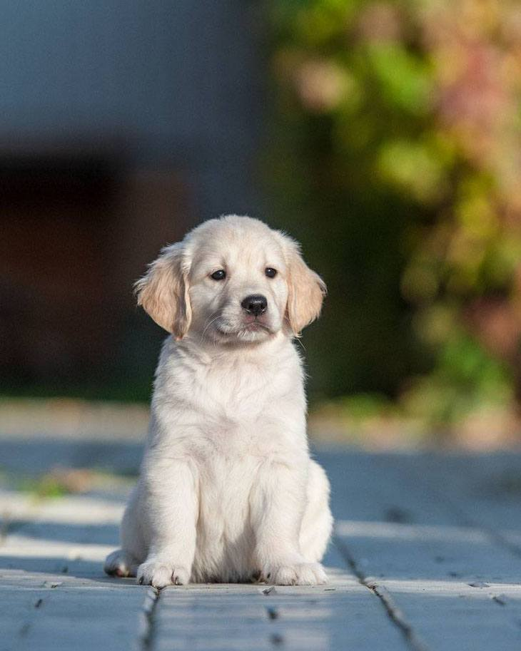 golden retriever puppy posing