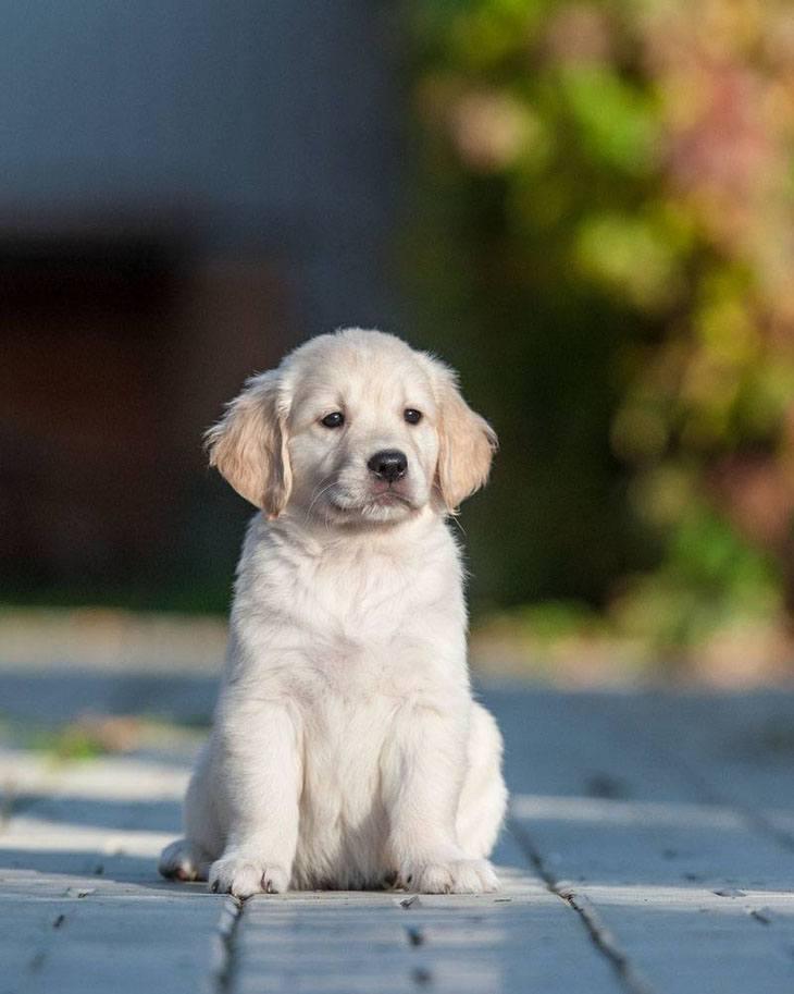 golden retriever puppy posing