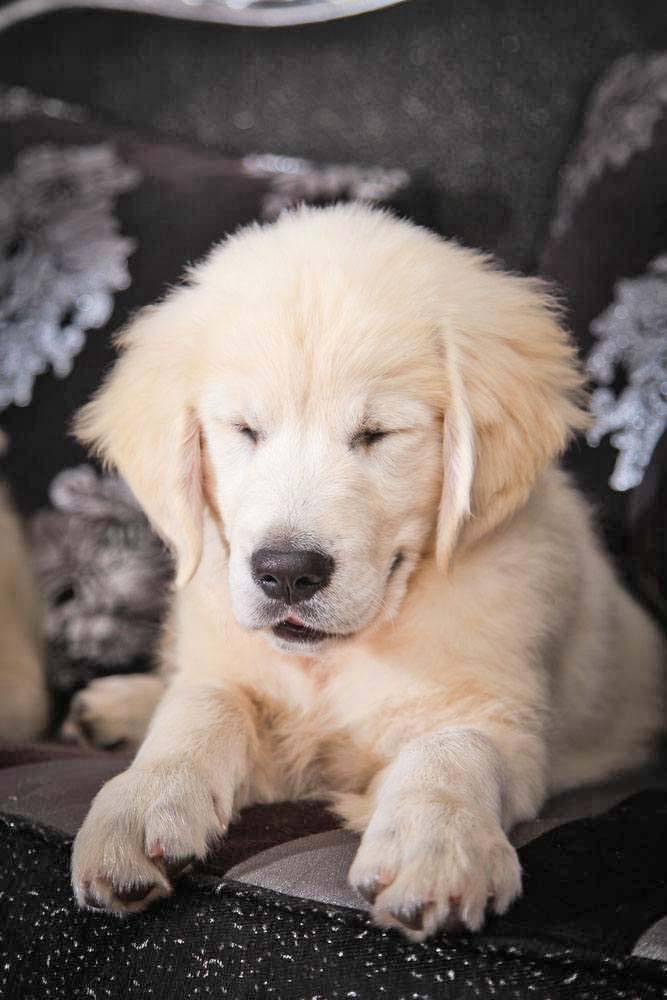 lab puppy nodding off
