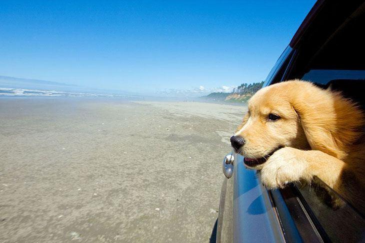 labrador retriever puppy on a roadtrip