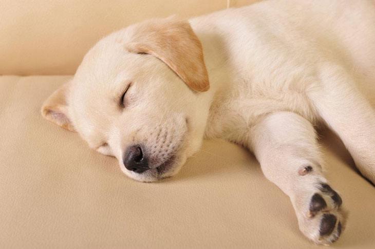 labrador retriever puppy dreaming of playtime