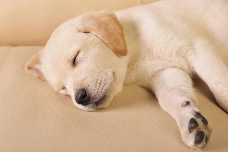 labrador retriever puppy taking a nap