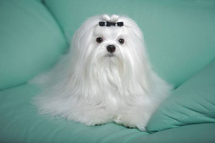 maltese dog showing off it's beauty
