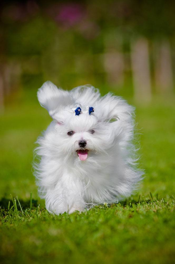 maltese puppy that's ready to play