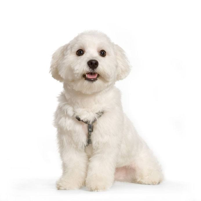maltese dog posing for a picture