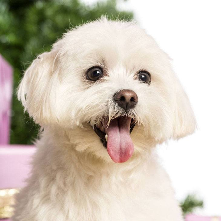 maltese dog posing for a cute picture