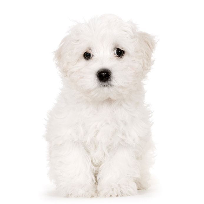 maltese puppy is feeling lonely