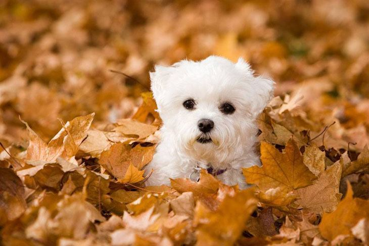 maltese puppy in pile of fall leaves