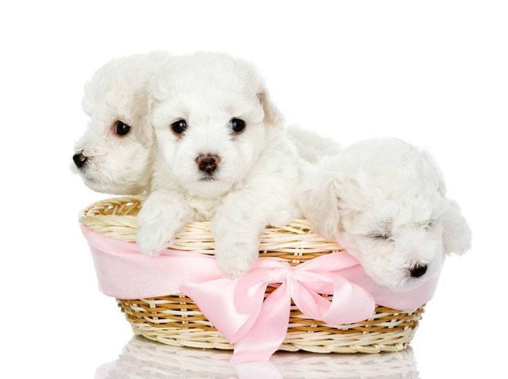three cute maltese puppies in a basket