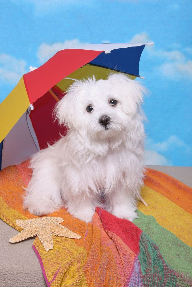 maltese puppy ready for a day at the beach