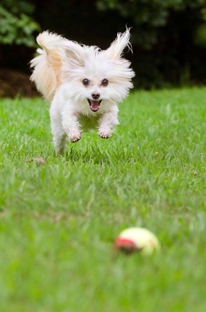 maltese dog chasing after a ball