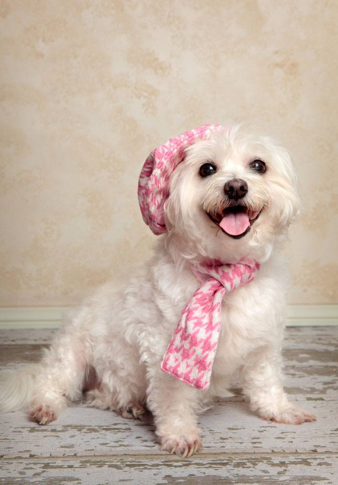maltese dog dressed up to go out